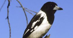 Butcherbird orders in