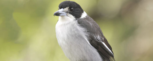 Element 25 singing Butcherbird song