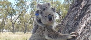 Former coal mine sites could provide koala habitats