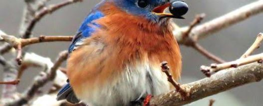 Bluebird still not singing