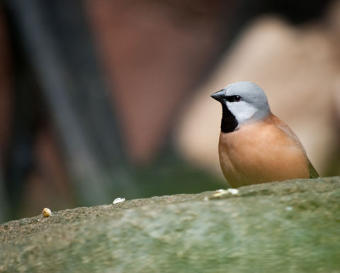 Black throated finch plan gets Qld govt blessing