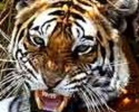 Tiger joins dragon in coal price push