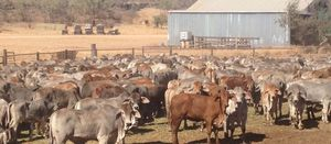 New Century quits cattle